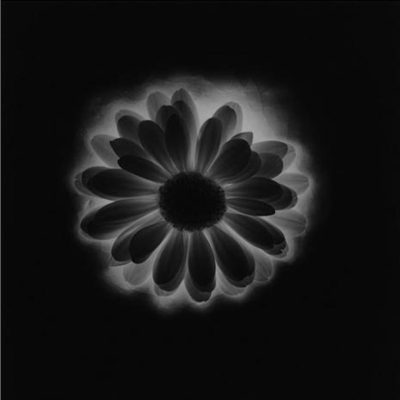 Flower 1985 by Robert Mapplethorpe , robertmapplethorpe, mapplethorpe