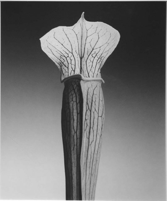 Jack in the Pulpit by Robert Mapplethorpe , mapplethorpe, robertmapplethorpe