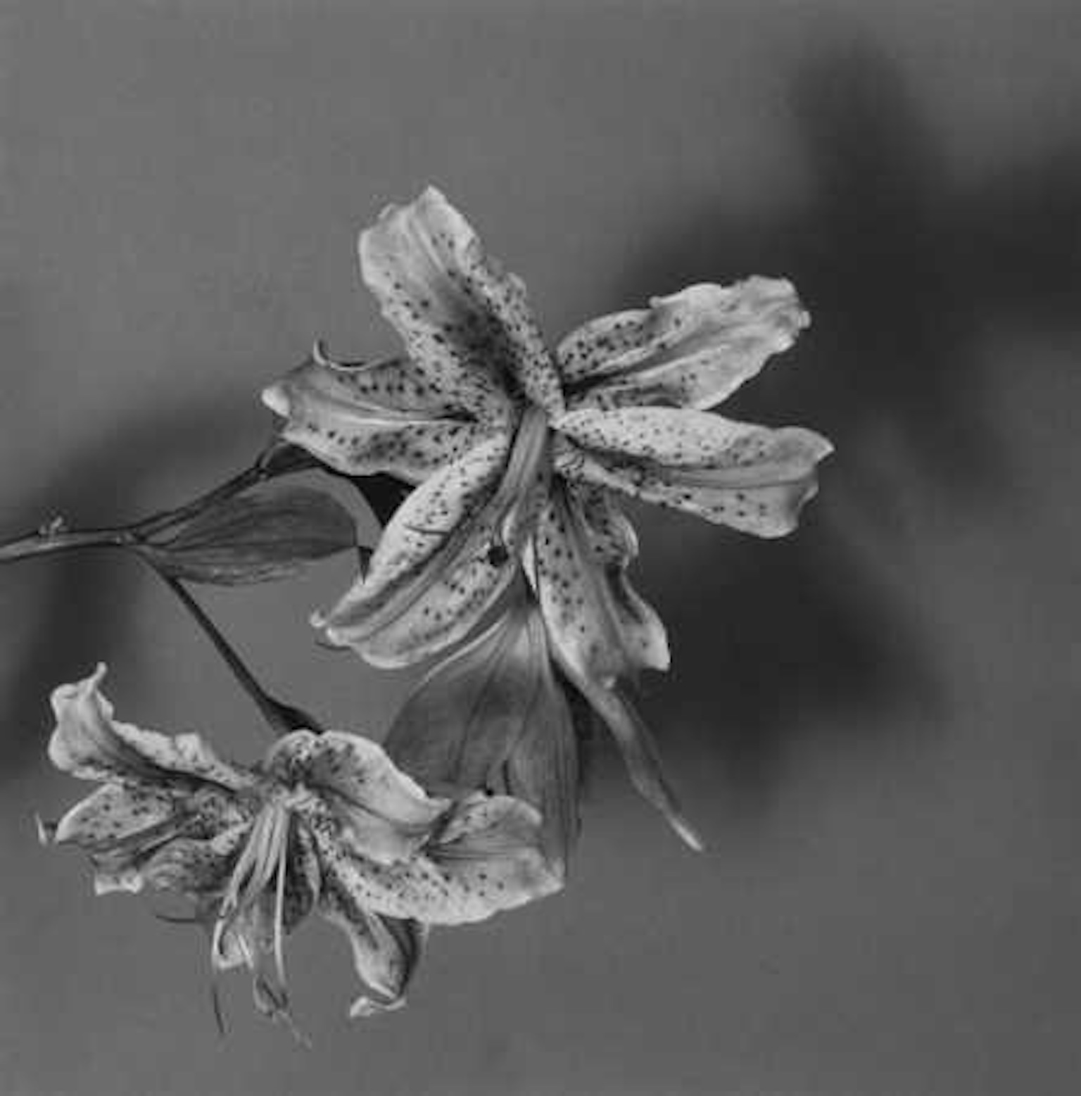 Robert Mapplethorpe Lily