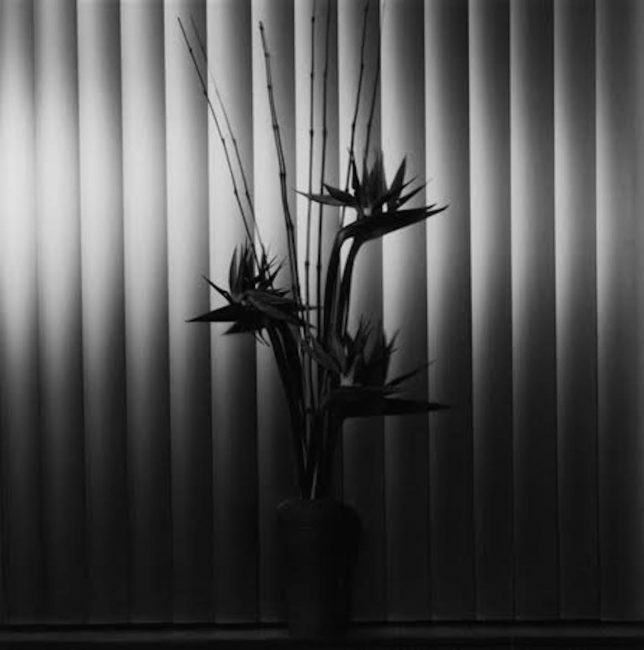 Birds of Paradise by Robert Mapplethorpe