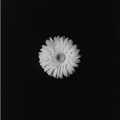 Flower 1984 by Robert Mapplethorpe, robert mapplethorpe