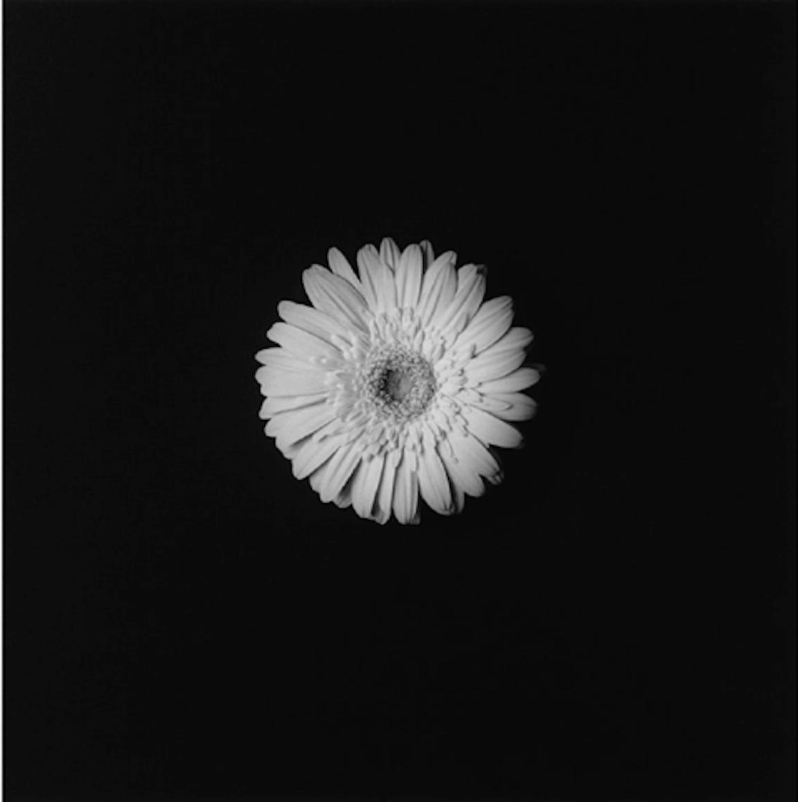 Flower 1984 by Robert Mapplethorpe