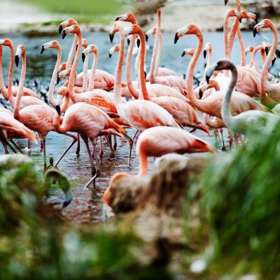 Pink Flamingos on Necker Island by Russell James